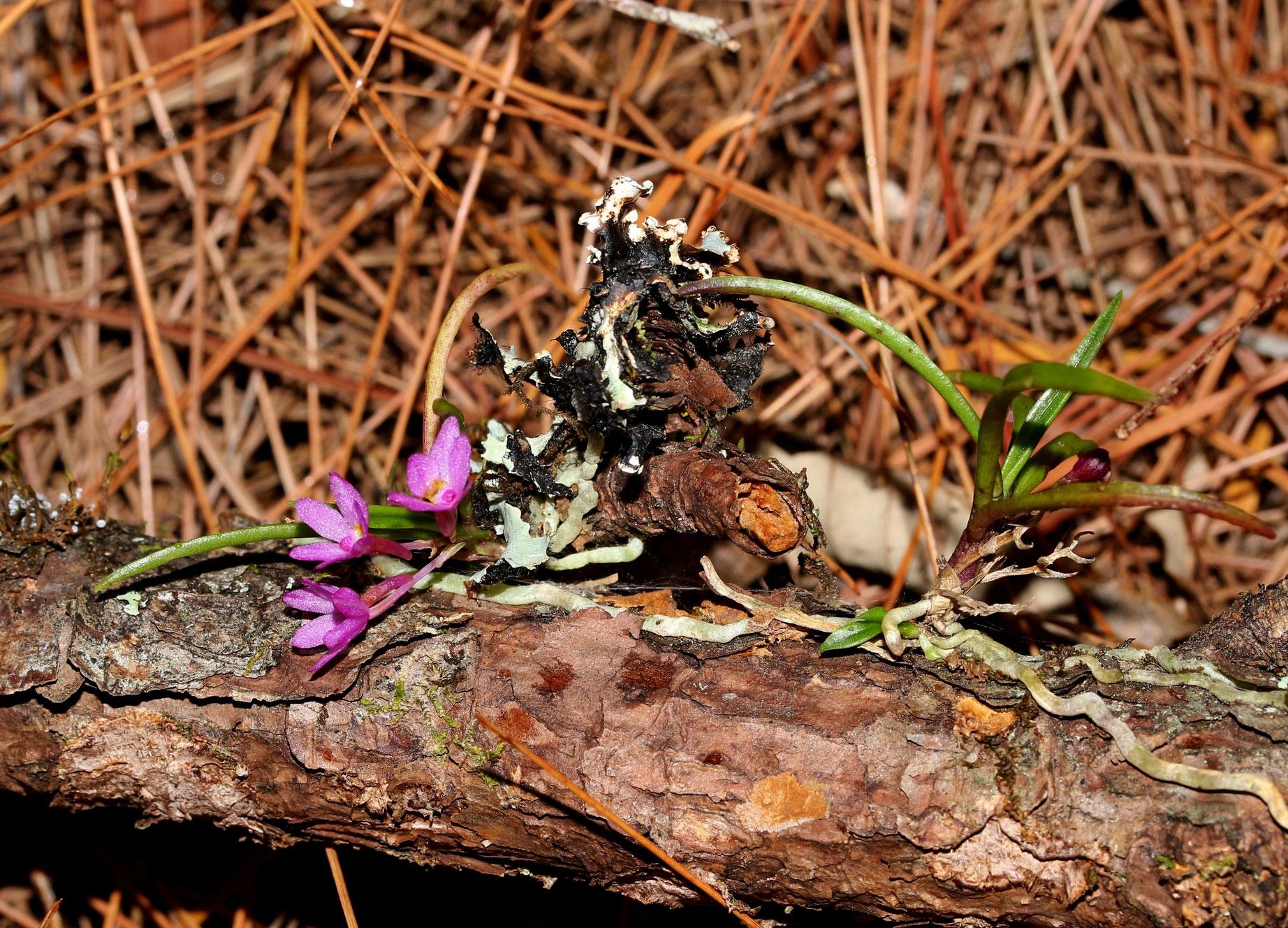 槽舌兰属种植与管理方法