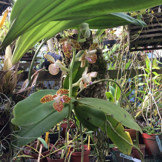 湿唇兰属Hygrochilus Pfitzer