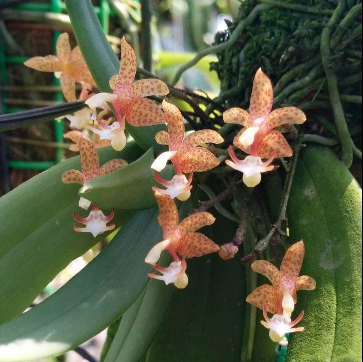 火炬兰/长脚兰Grosourdya appendiculatum (Bl. ) Rchb. f.