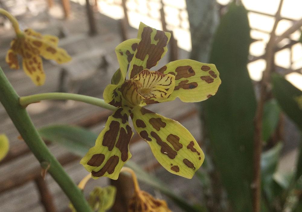斑花巨兰Grammatophyllum scriptum (L.) Blume