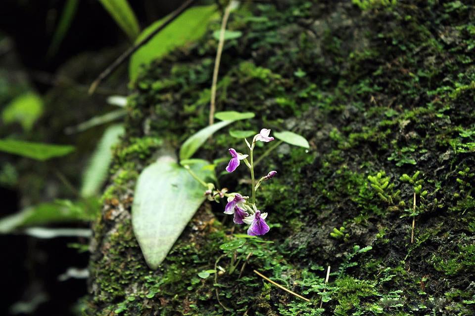 美叶舌喙兰Hemipilia calophylla C.S.P.Parish & Rchb.f.