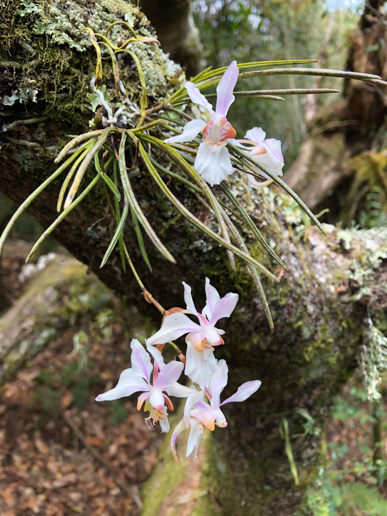 槽舌兰属Holcoglossum Schltr.