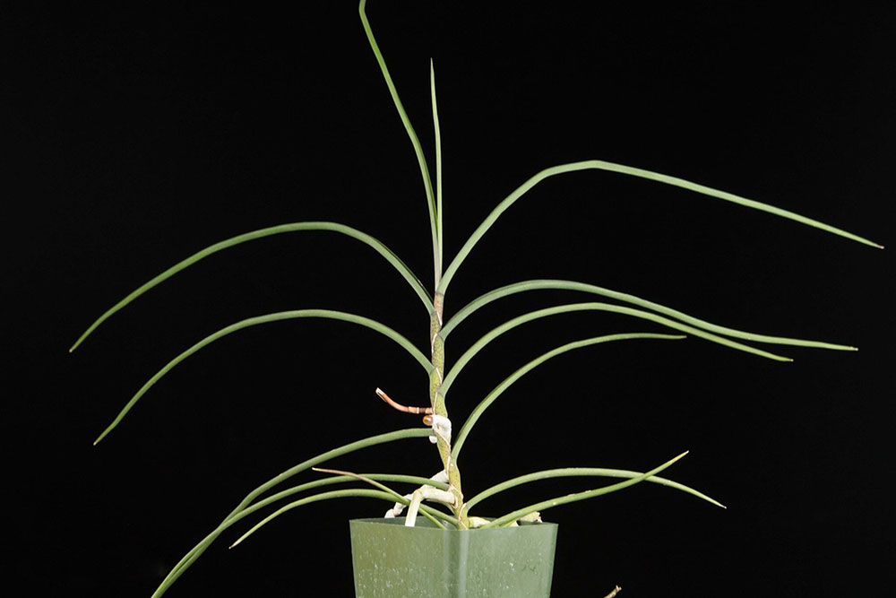 管叶槽舌兰Holcoglossum kimballianum (Rchb. F.) Garay