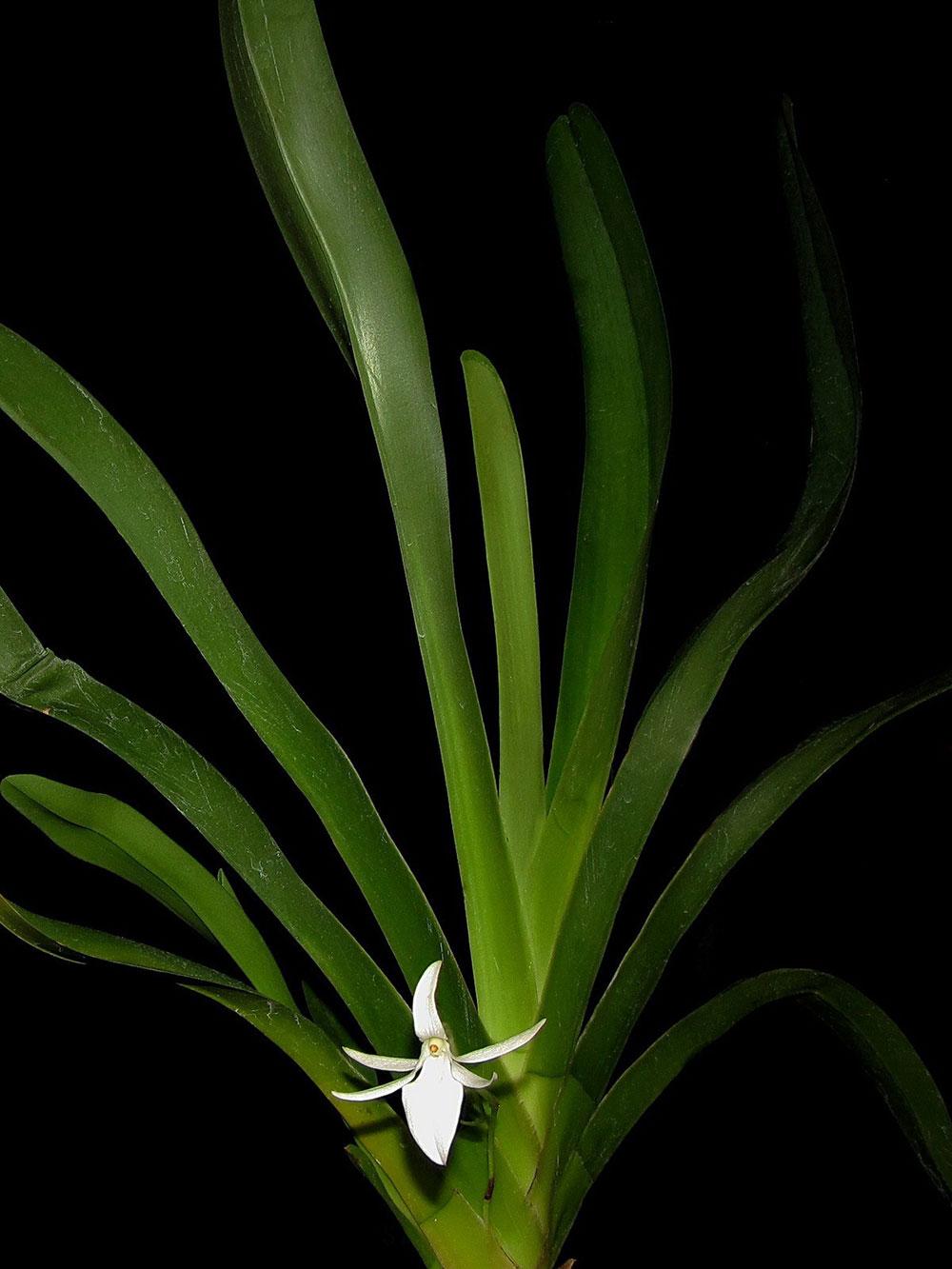 蜘蛛样朱美兰Jumellea arachnantha (Rchb.f.) Schltr.