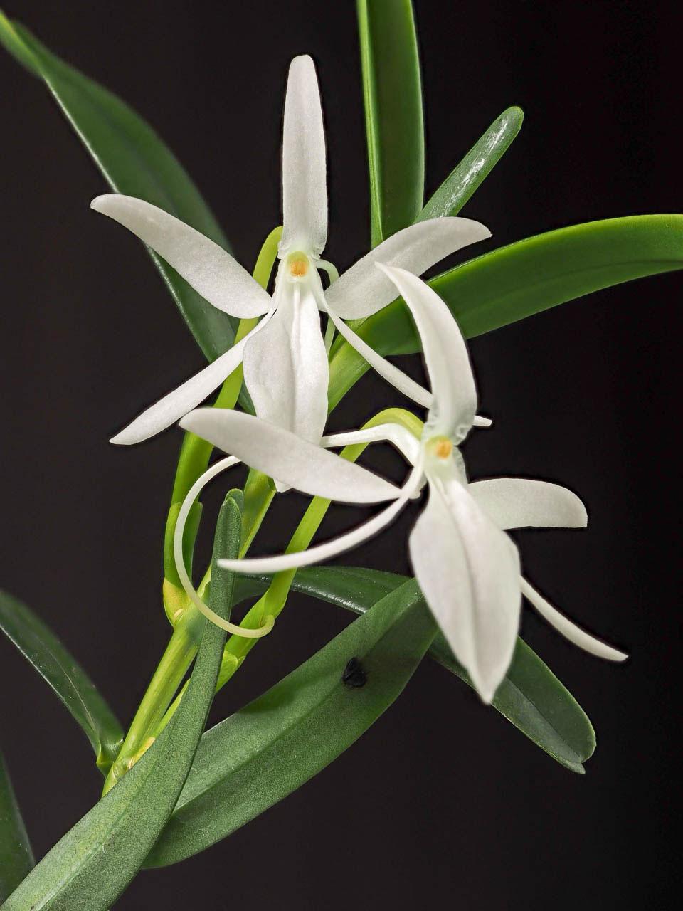 科摩罗朱美兰Jumellea comorensis (Rchb.f.)