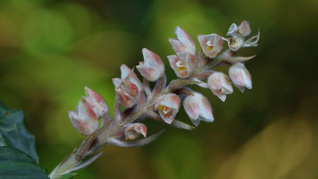 多叶斑叶兰Goodyera foliosa (Lindl. ) Benth.