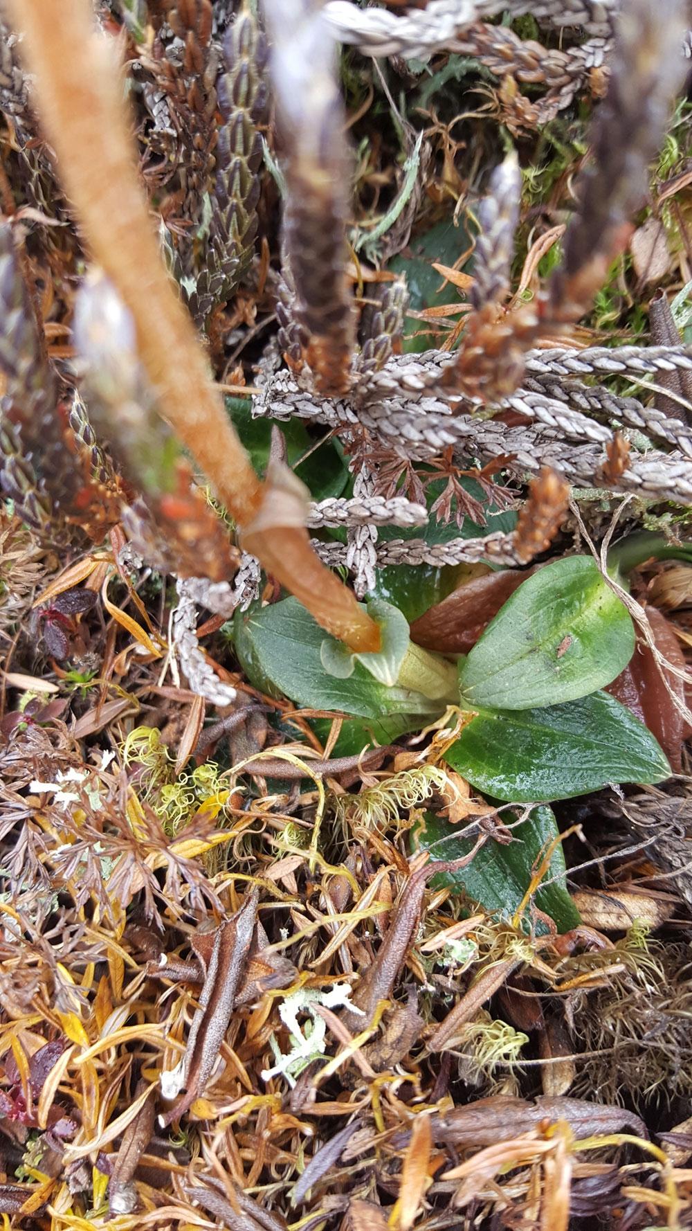 脊唇斑叶兰Goodyera fusca (Lindl. ) Hook. f.