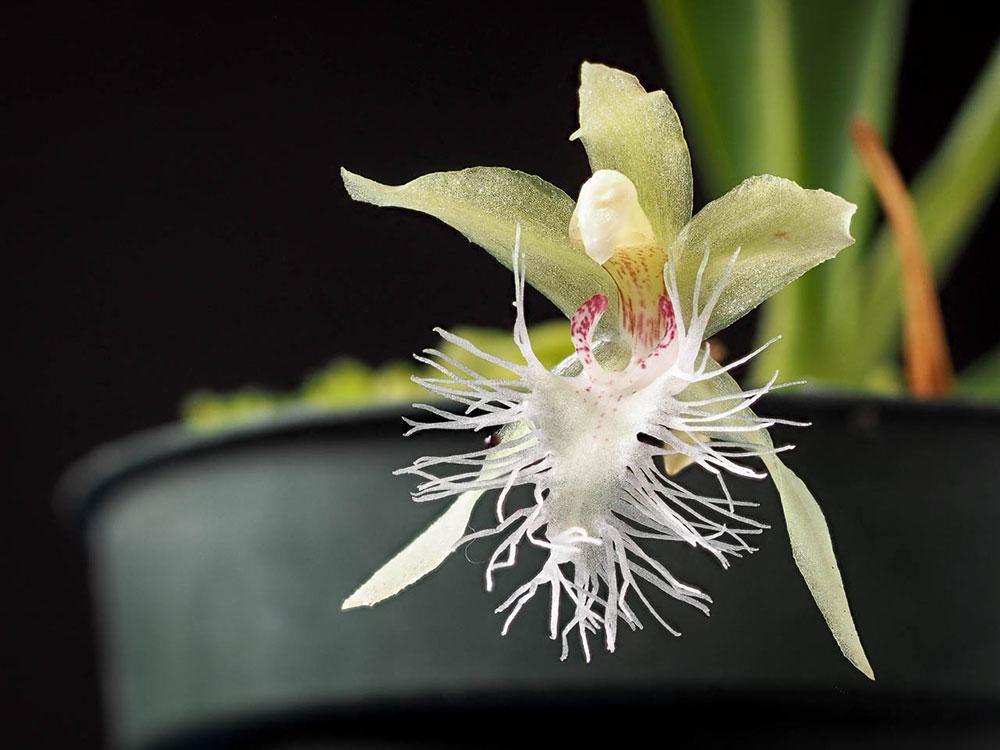 克兰属Kefersteinia Rchb.f.