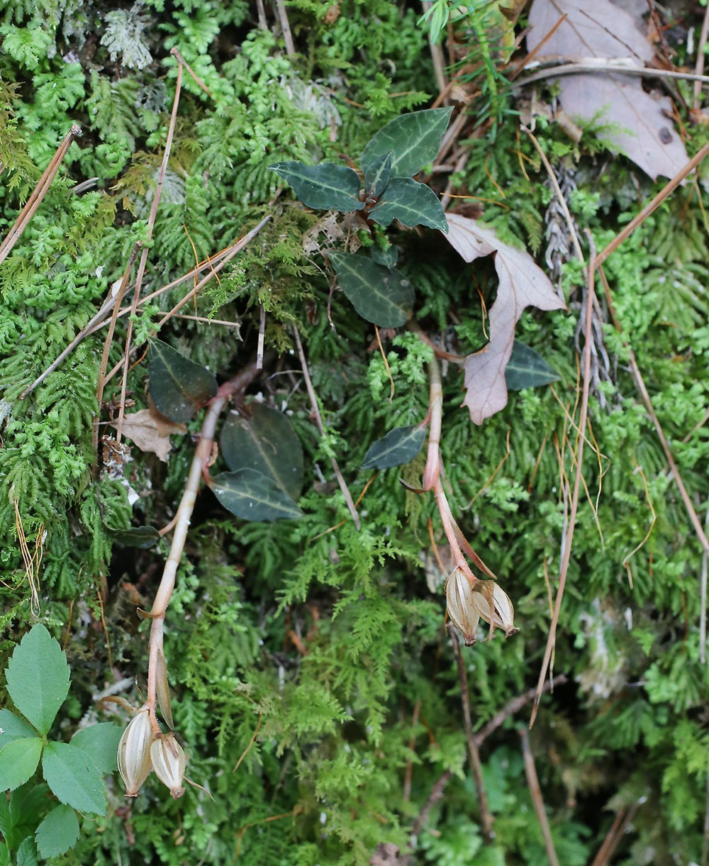 大花斑叶兰图片及鉴赏