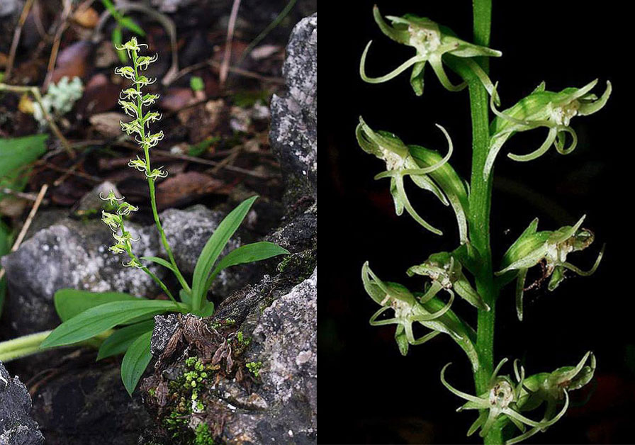 湿地玉凤花Habenaria humidicola Rolfe