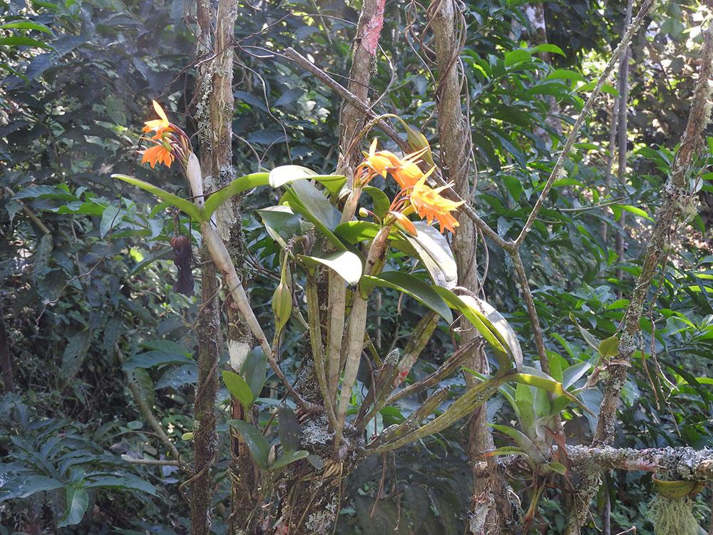 橙黄瓜利兰Guarianthe aurantiaca