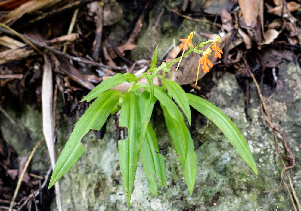 橙黄玉凤花Habenaria rhodocheila Hance