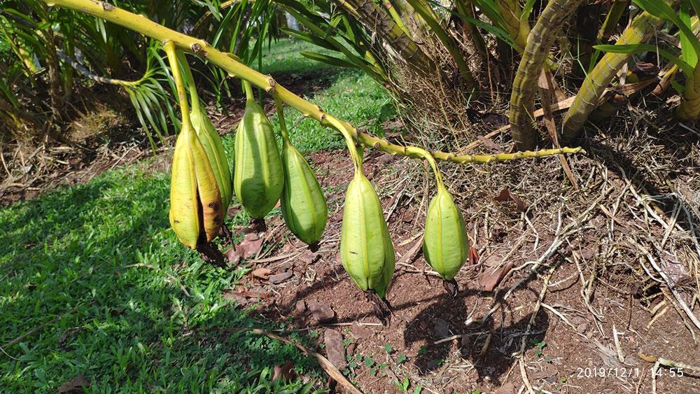 巨兰Grammatophyllum speciosum Blume