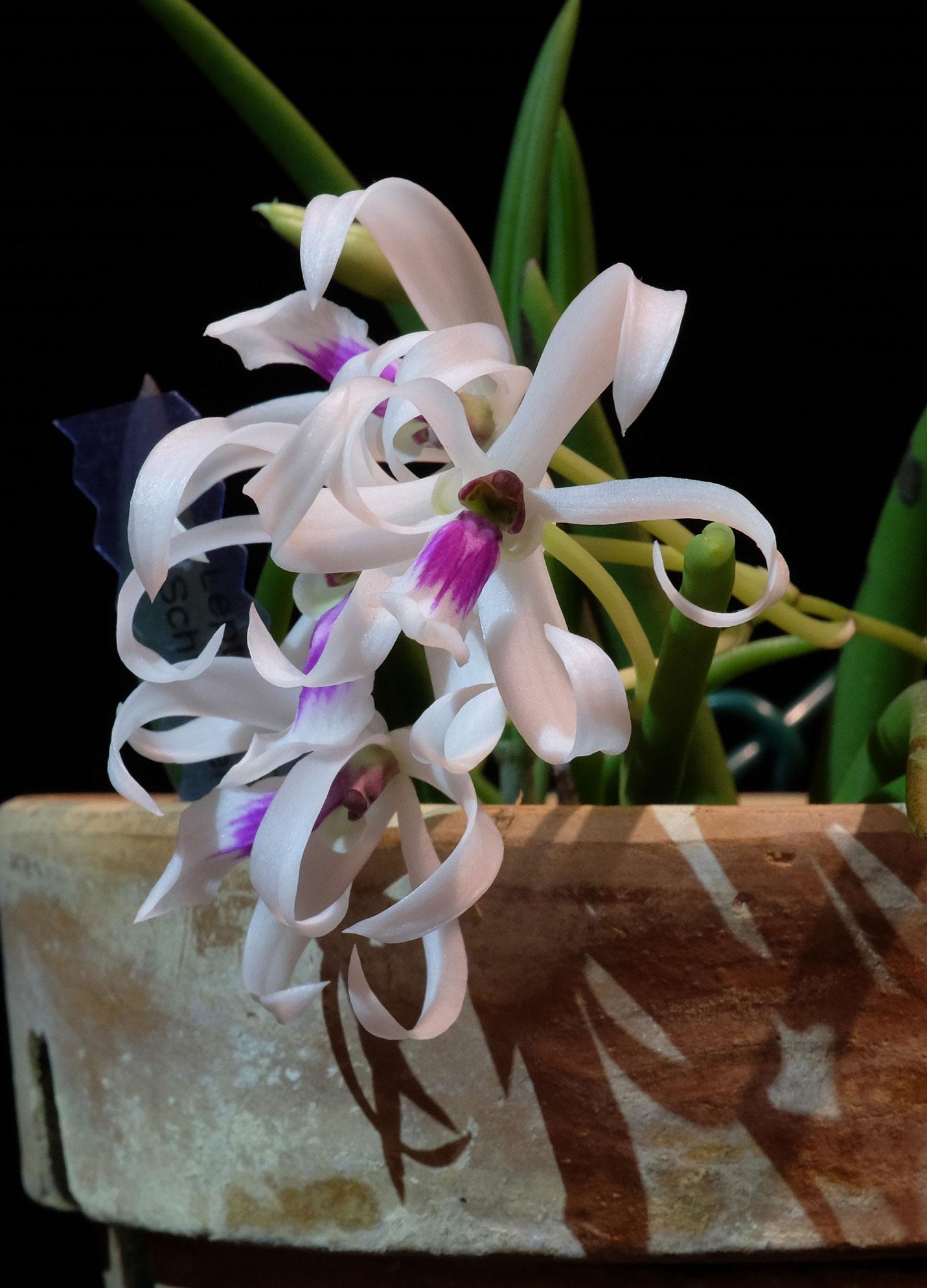 两色筒叶兰Leptotes bicolor Lindl.