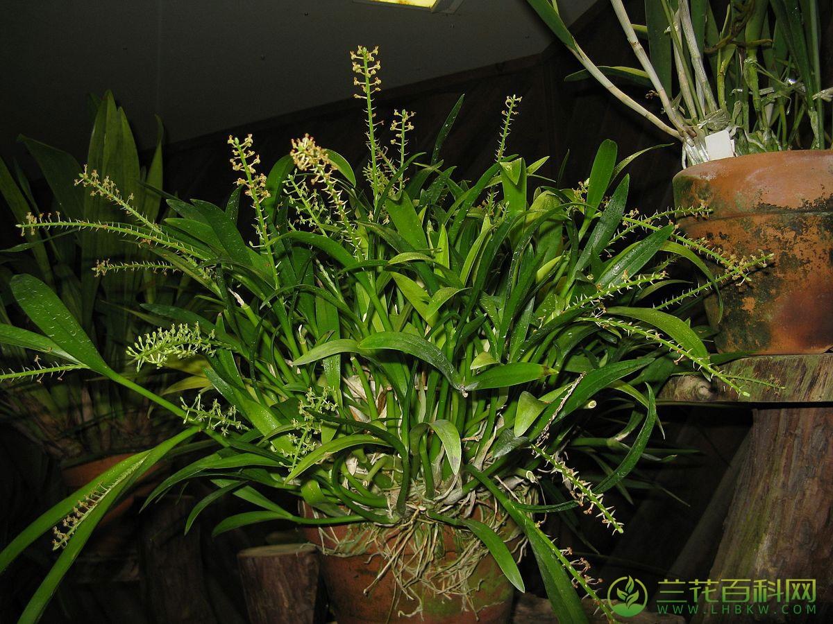 细茎羊耳蒜Liparis condylobulbon Rchb.F.