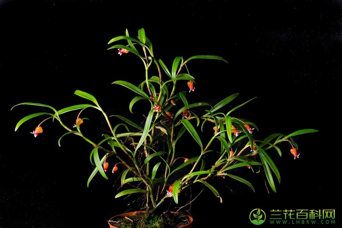 二叶石榴兰Mediocalcar bifolium J.J.Sm.