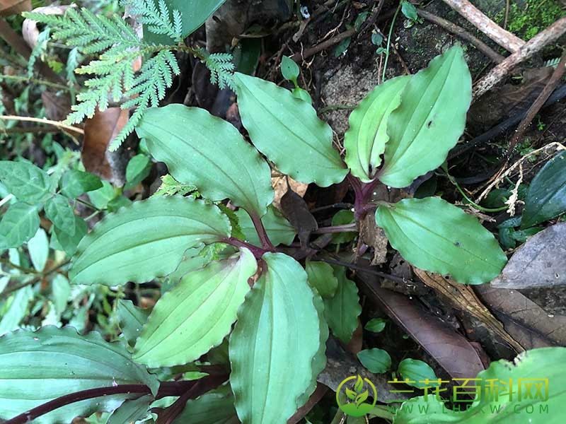 紫背沼兰Malaxis roohutuensis (Fukuyama) S.S.Ying