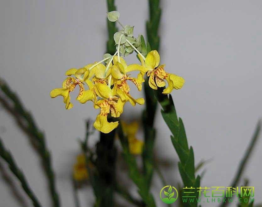 奥氏洛克兰Lockhartia oerstedii Rchb.f.