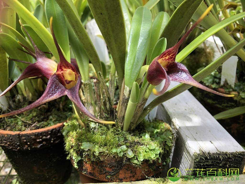 尾萼兰属/细瓣兰属/三尖兰属栽培养护与种植
