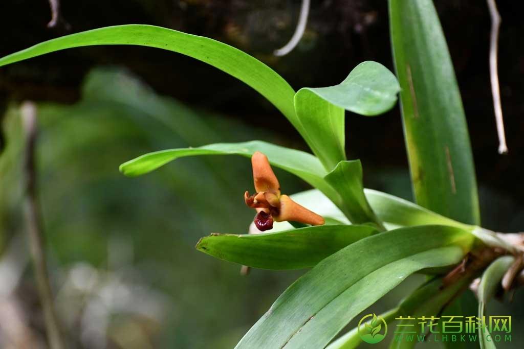 颚唇兰Maxillaria elatior (Rchb.f.) Rchb.f.