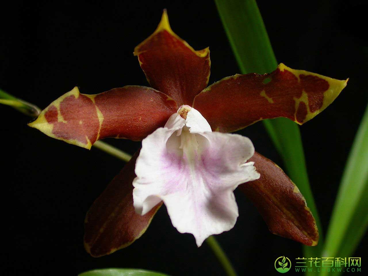 白唇米尔顿兰Miltonia candida Lindl.