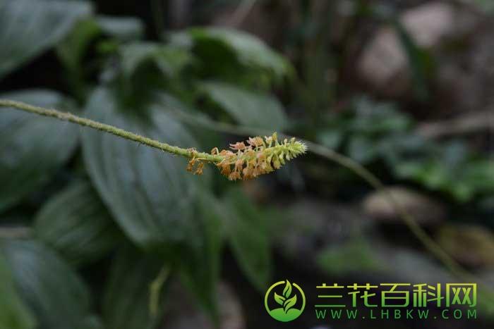 浅裂沼兰Malaxis acuminata D.Don