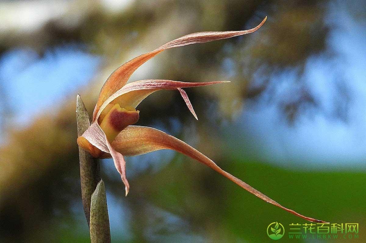 颚唇兰属 鰓兰属 腋唇兰属Maxillaria Ruiz & Pav.