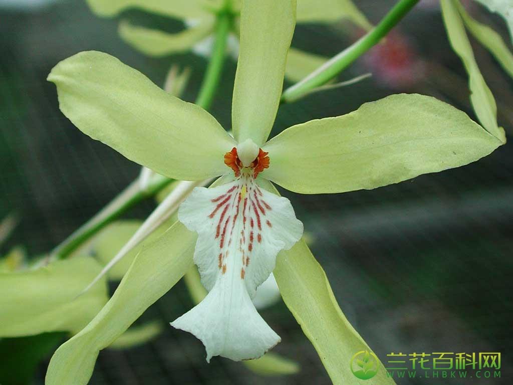 淡黄米尔顿兰Miltonia flavescens Lindl.