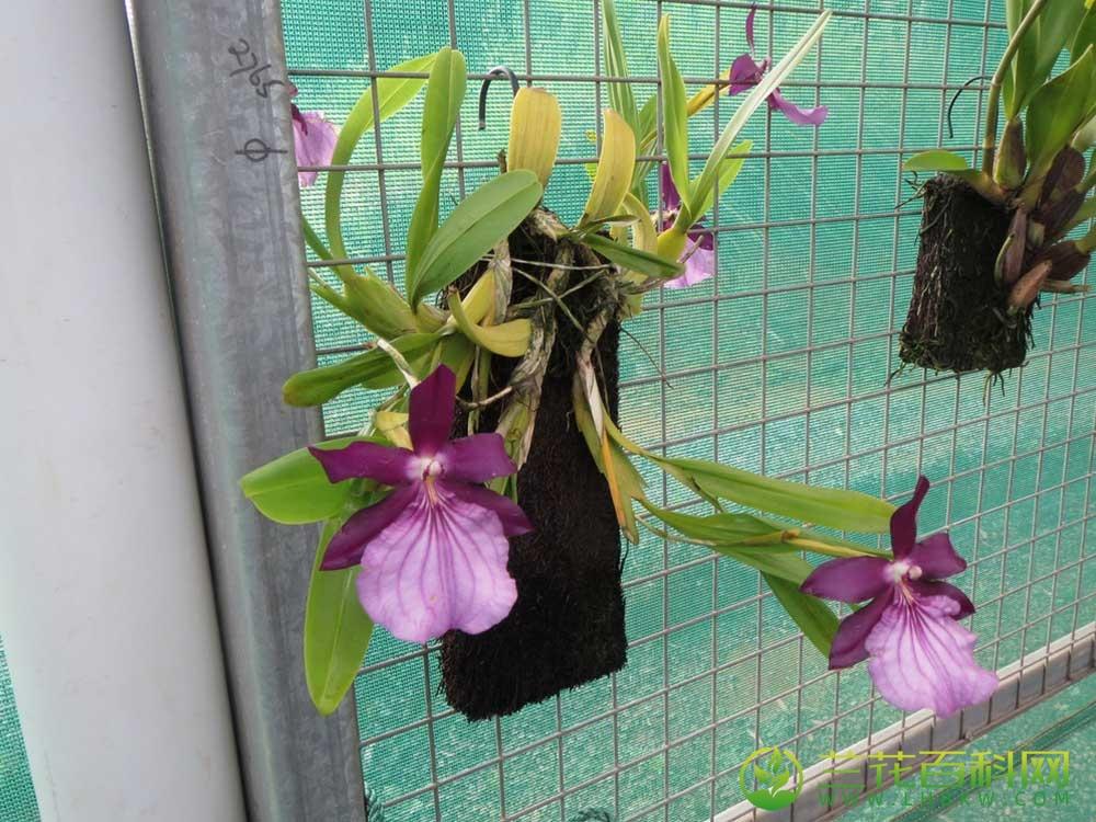 美花米尔顿兰Miltonia spectabilis Lindl.