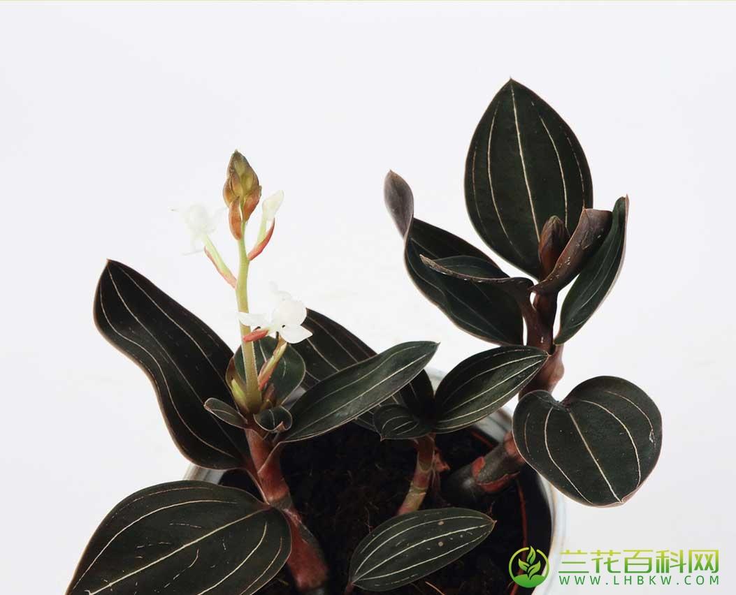 血叶兰Ludisia discolor (Ker Gawl.) Blume