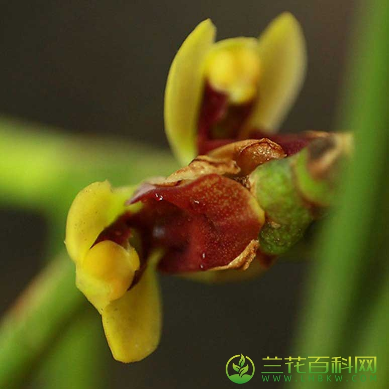 长叶钗子股Luisia zollingeri Rchb.F.