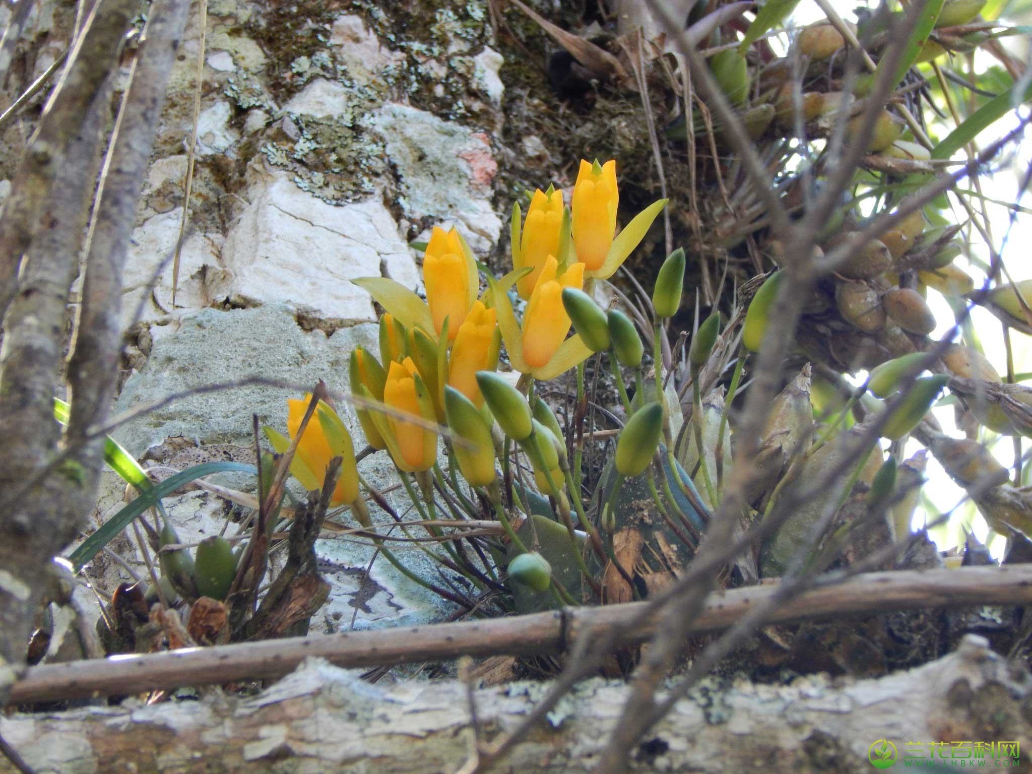 芳香薄叶兰Lycaste aromatica (Graham) Lindl.