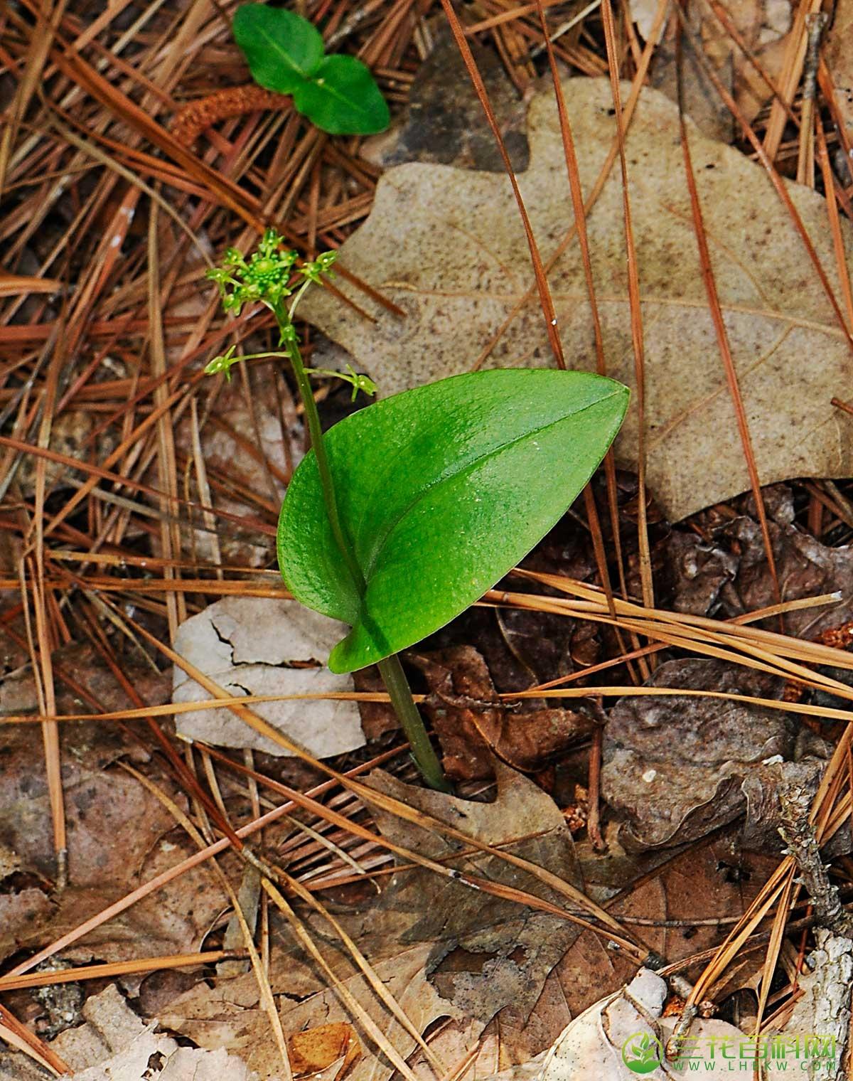 沼兰属养殖栽培与养护技巧