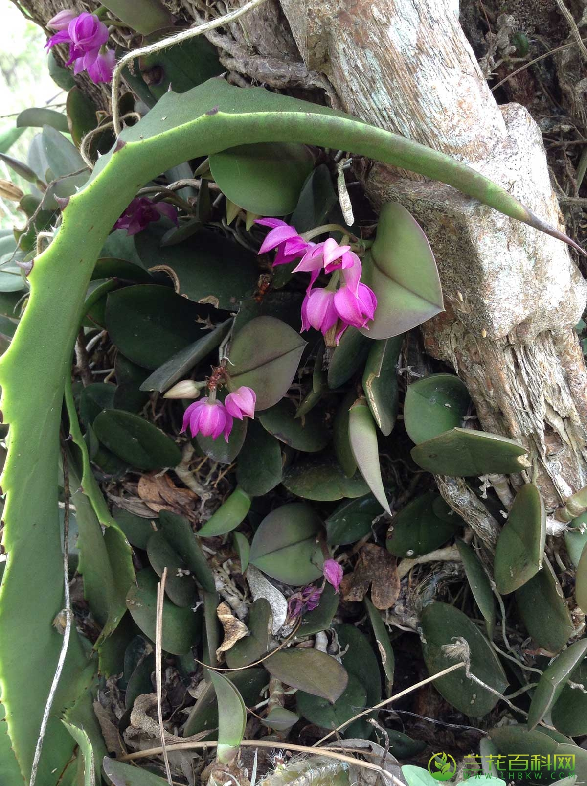 伏兰Meiracyllium trinasutum Rchb.f.