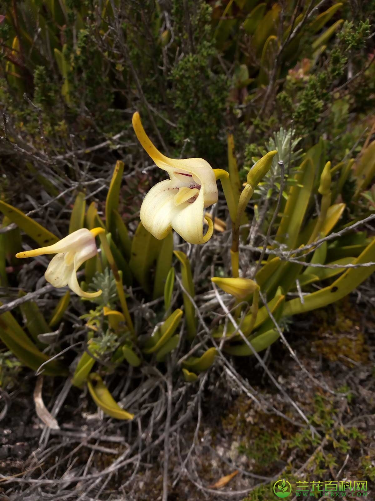 短尾尾萼兰Masdevallia coriacea Lindl.