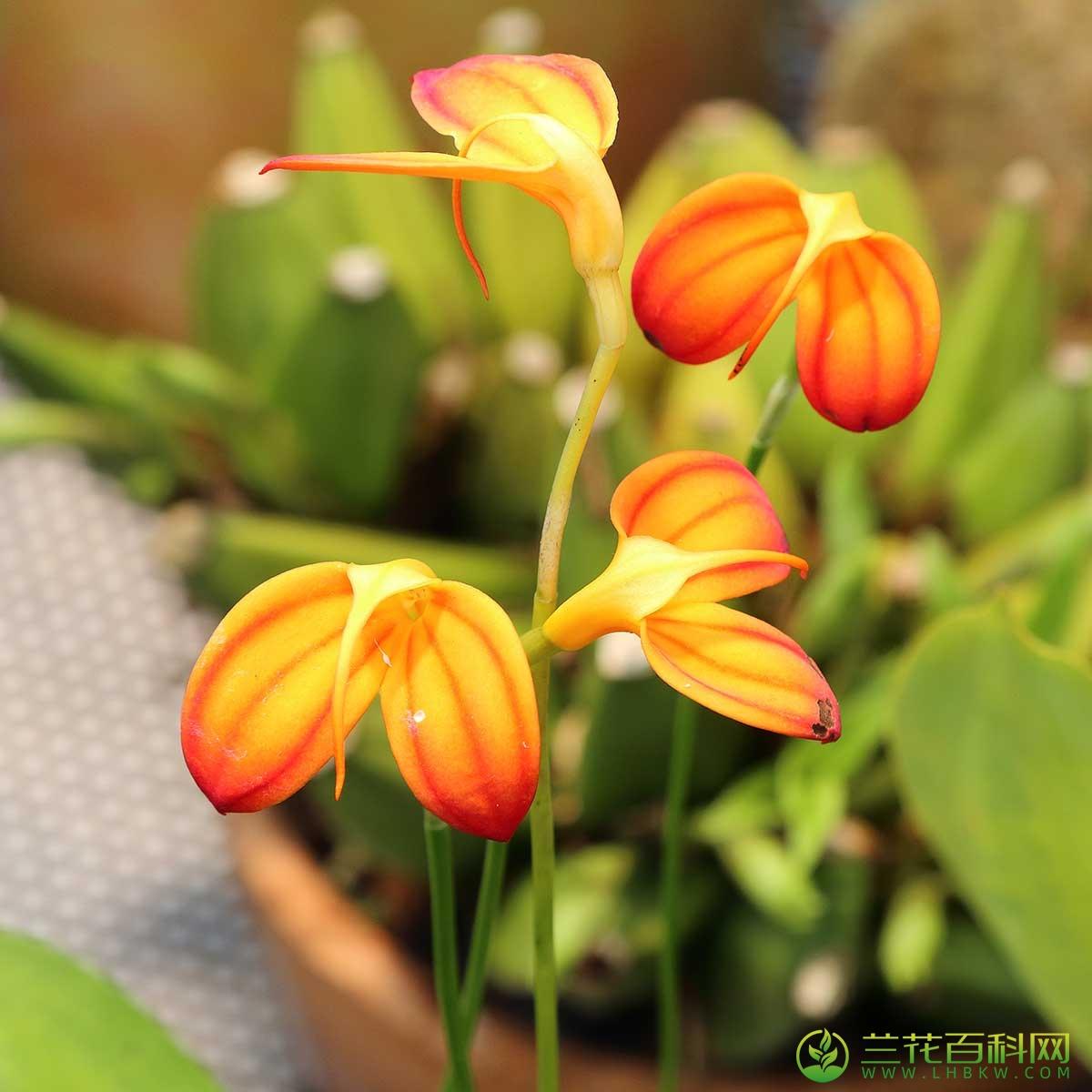 Masdevallia ignea Rchb.f.
