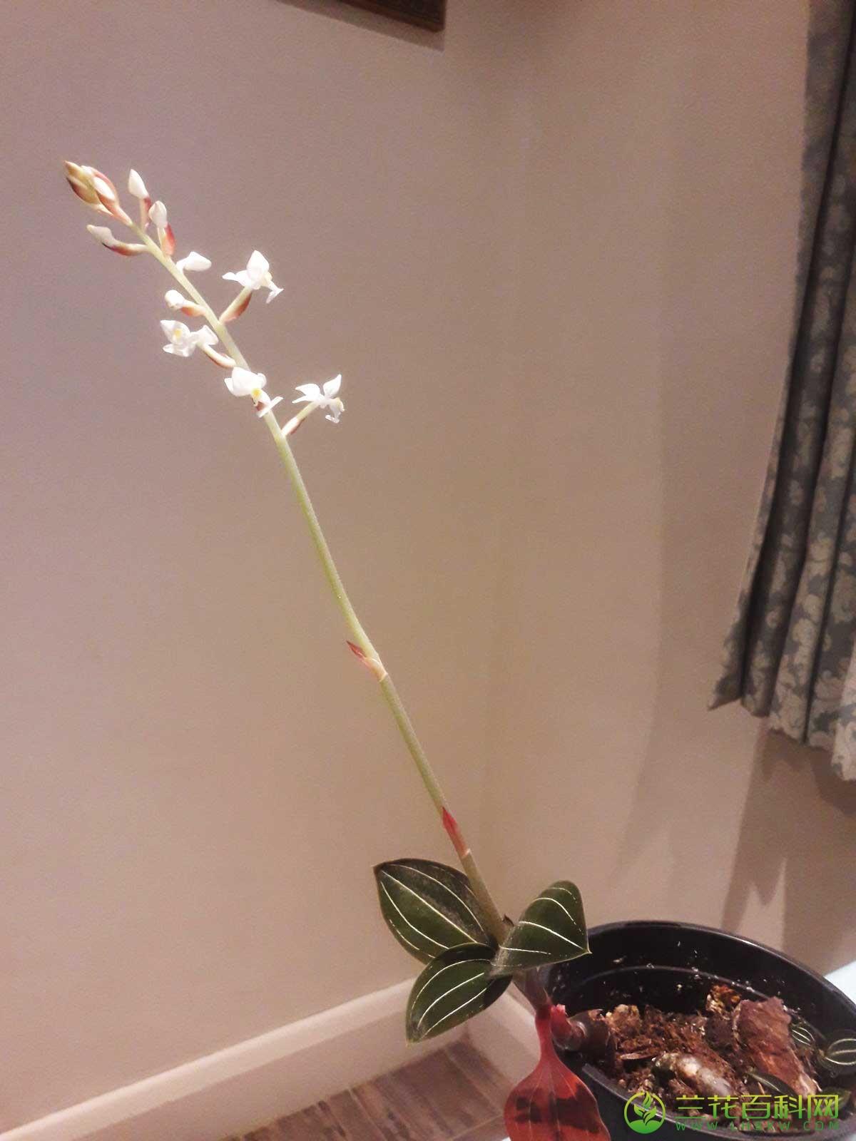 血叶兰属Ludisia A. Rich.
