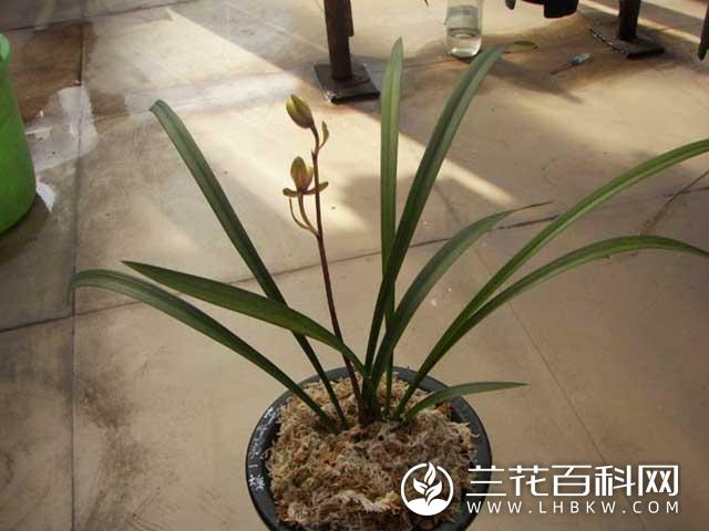 寒兰神州第一梅Cymbidium kanran Makino'Shen Zhou Di Yi Mei'