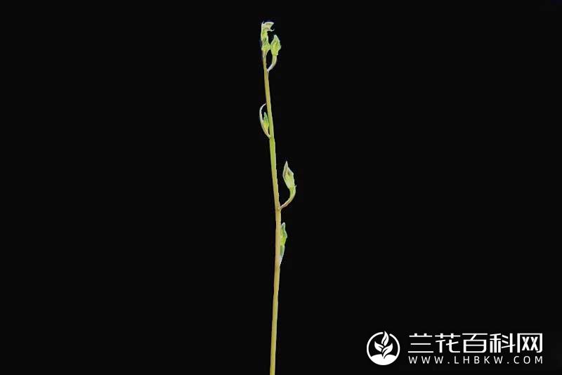 寒兰连城彩梅Cymbidium kanran Makino'Lian Cheng Cai Mei'