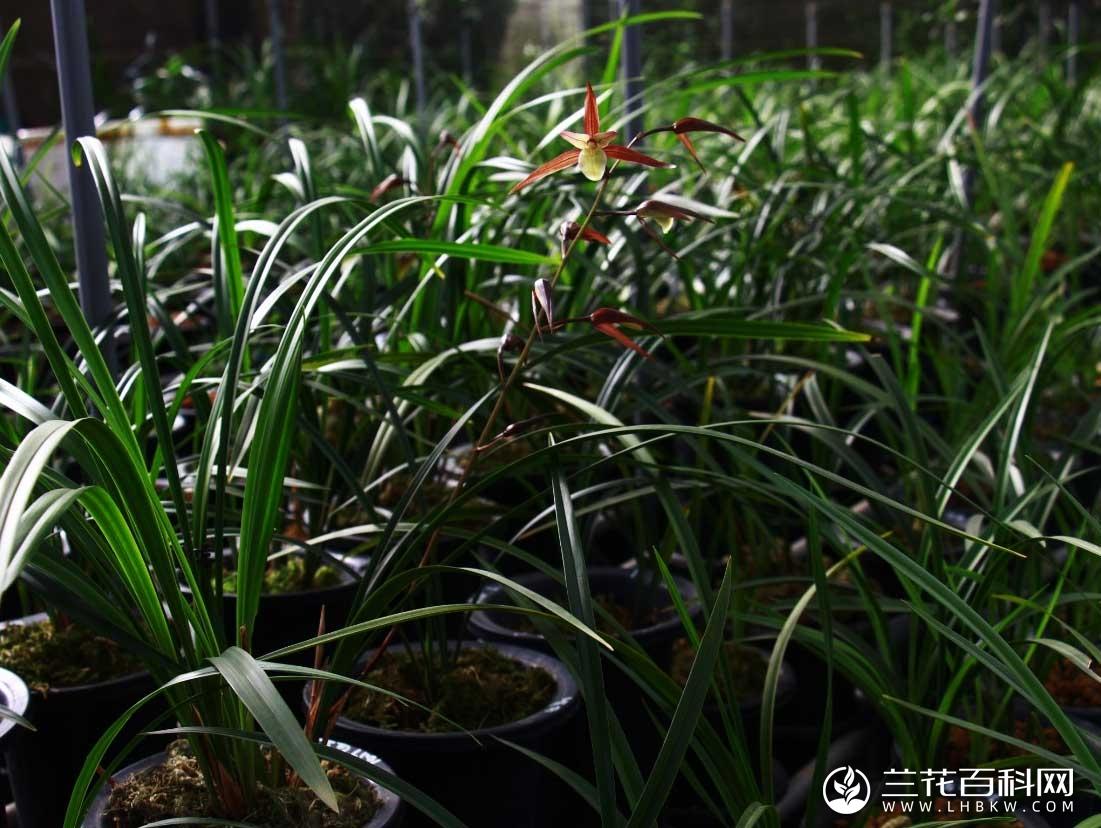寒兰红花素Cymbidium kanran Makino'Hong Hua Su'