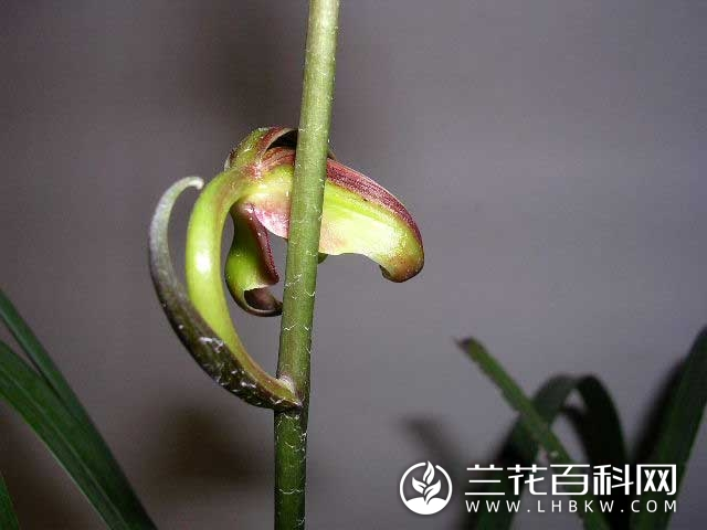 寒兰九岭梅蝶Cymbidium kanran Makino'Guan Zhi Duo Yun'