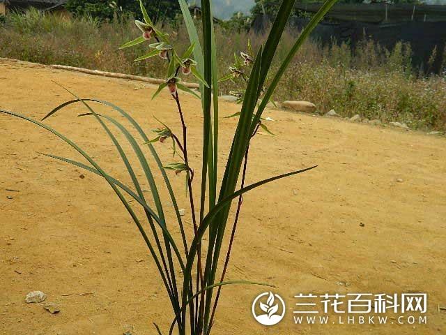 寒兰望月Cymbidium kanran Makino'Wang Yue'