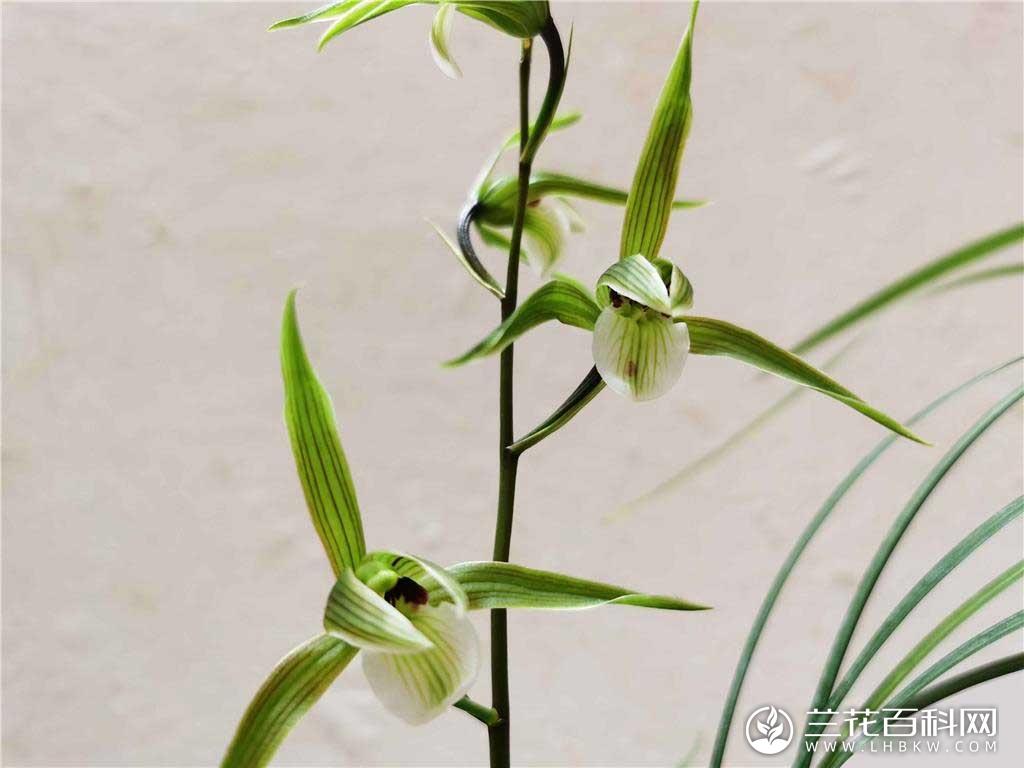 寒兰仙鹤Cymbidium kanran Makino'Xian He'