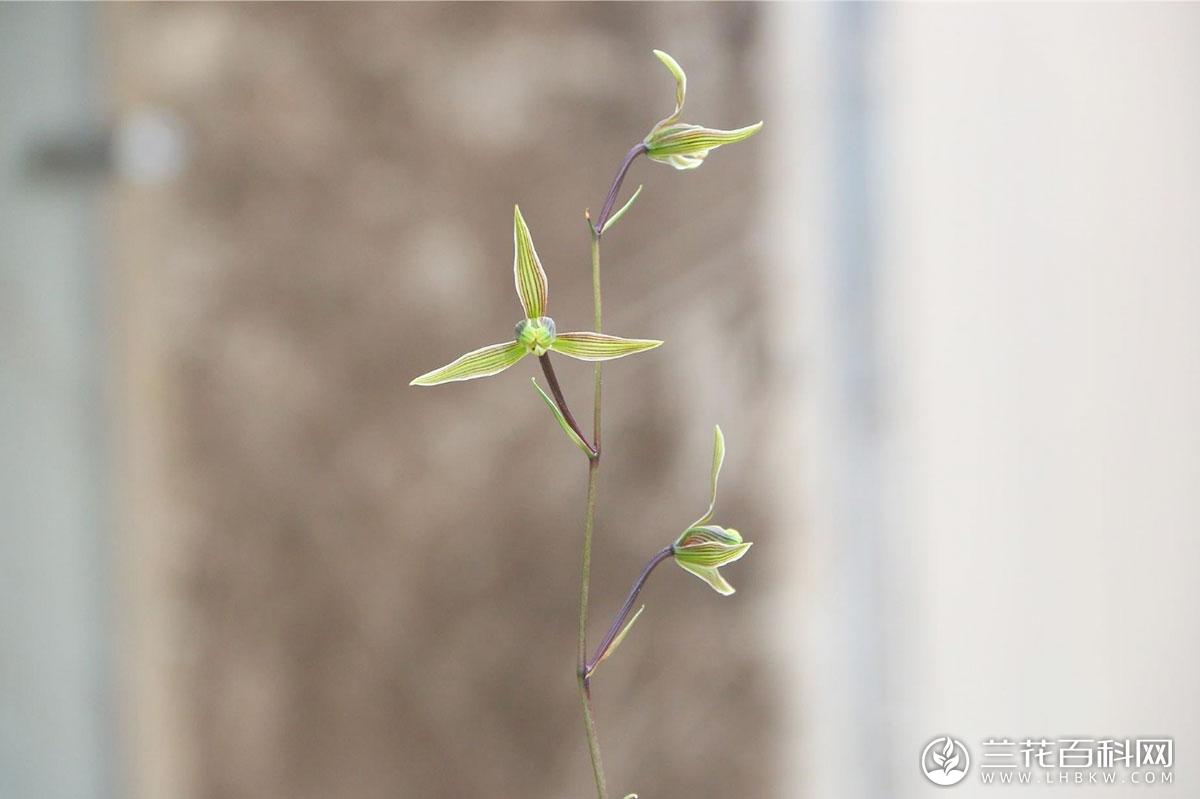 寒兰盆栽种植技巧和注意事项
