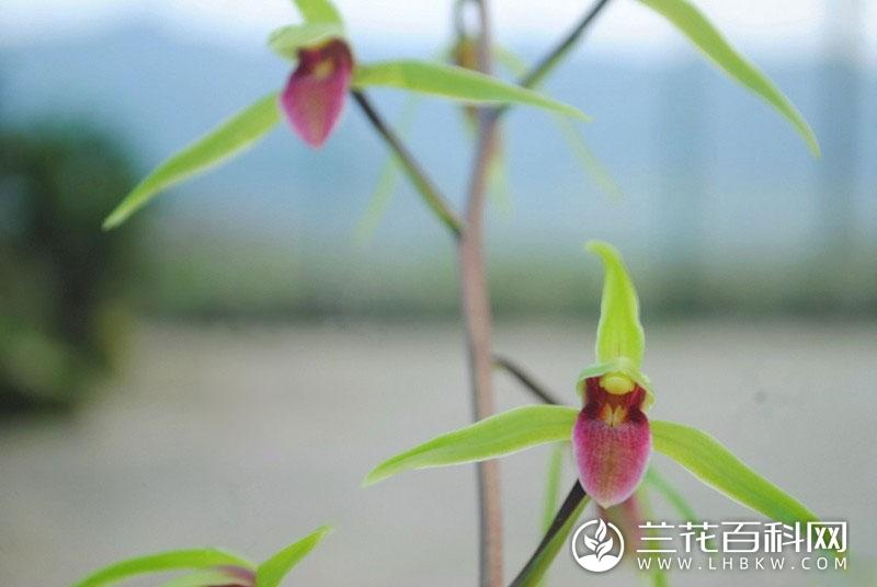寒兰雪中红Cymbidium kanran Makino'Xue Zhong Hong'