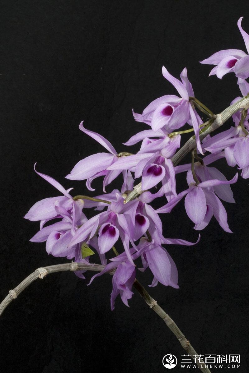 华丽石斛Dendrobium anosmum