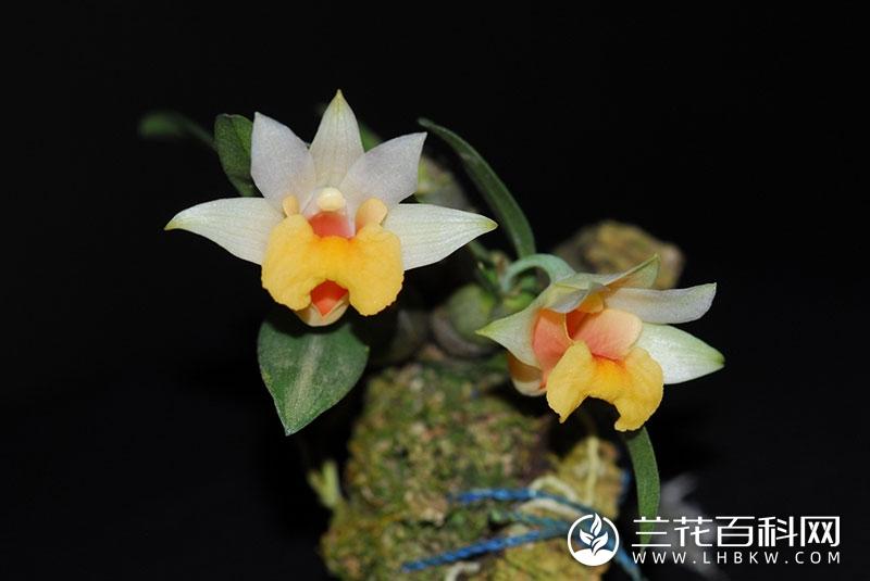 矮石斛Dendrobium bellatulum