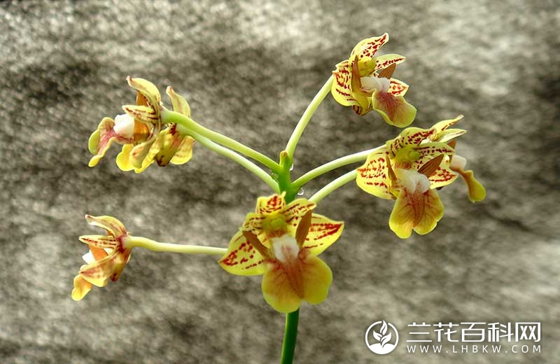 二镰状裂石斛Dendrobium bifalce