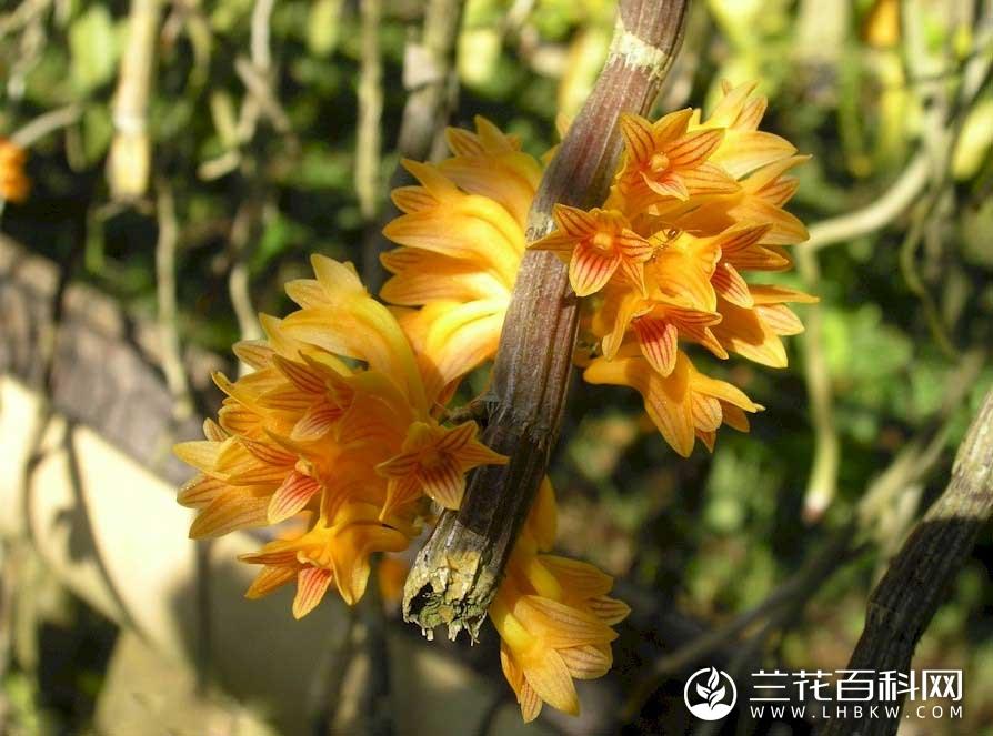 布冷石斛Dendrobium bullenianum