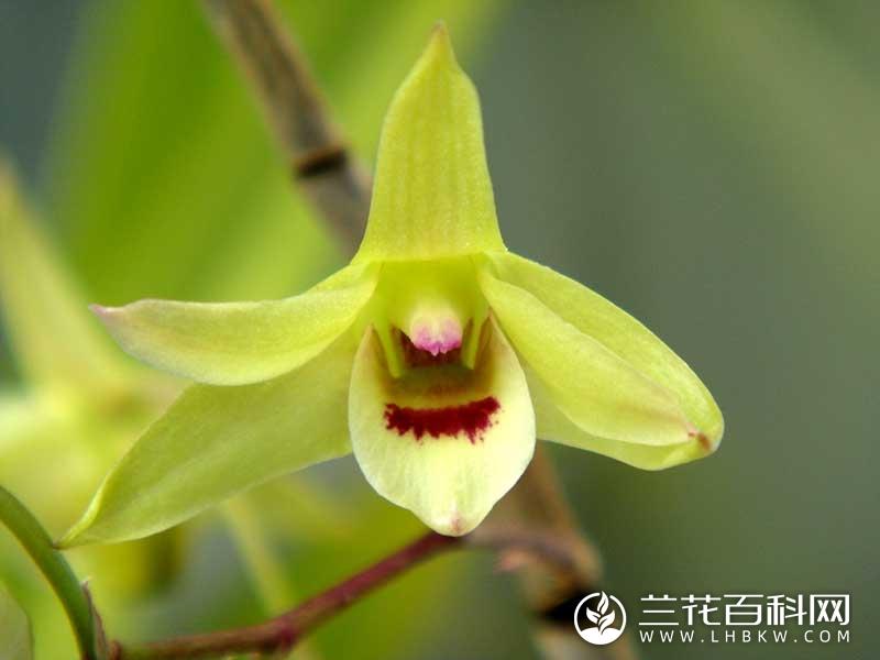 黄石斛Dendrobium catenatum